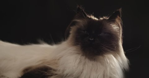 Beautiful ragdoll cat resting with black background