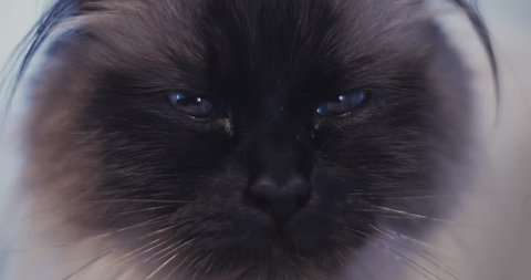 Close up of beautiful ragdoll cat with big blue eyes