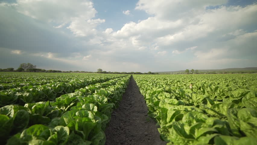 Steadicam shot of a field of romaine lettuce in Central Mexico.