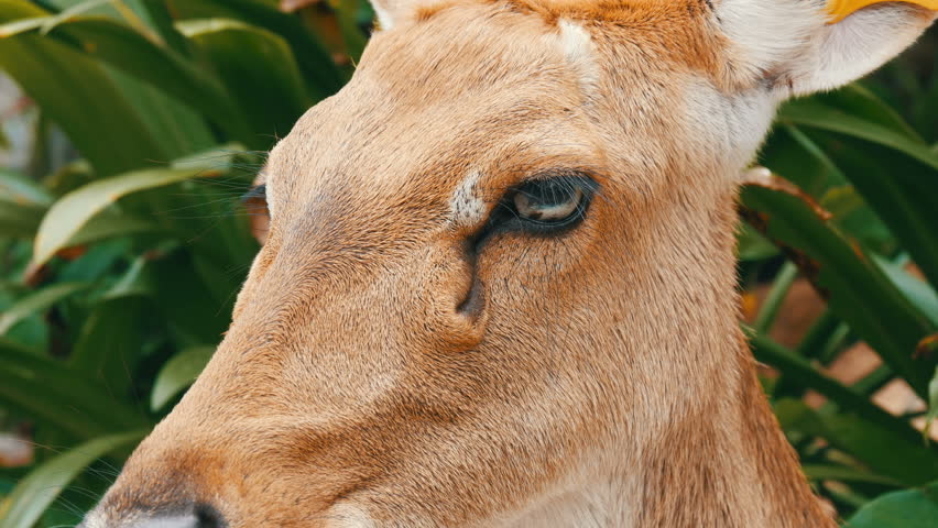 Beautiful deer sitting in green bush close up view. Hand deer in the zoo khao kheo, Pattaya, Thailand #1008085975