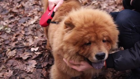 Muzzle of furry red purebred Chow Chow. It is walking in autumn day outdoors, owners hands is stroking his neck
