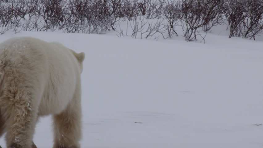 Large male fluffy polar bear walks and wades through snow and willows in arctic