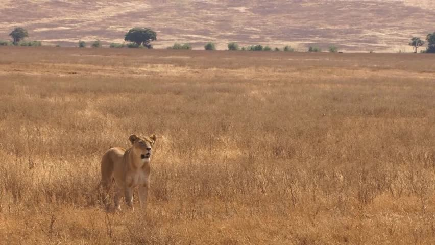 Lioness looking for prey