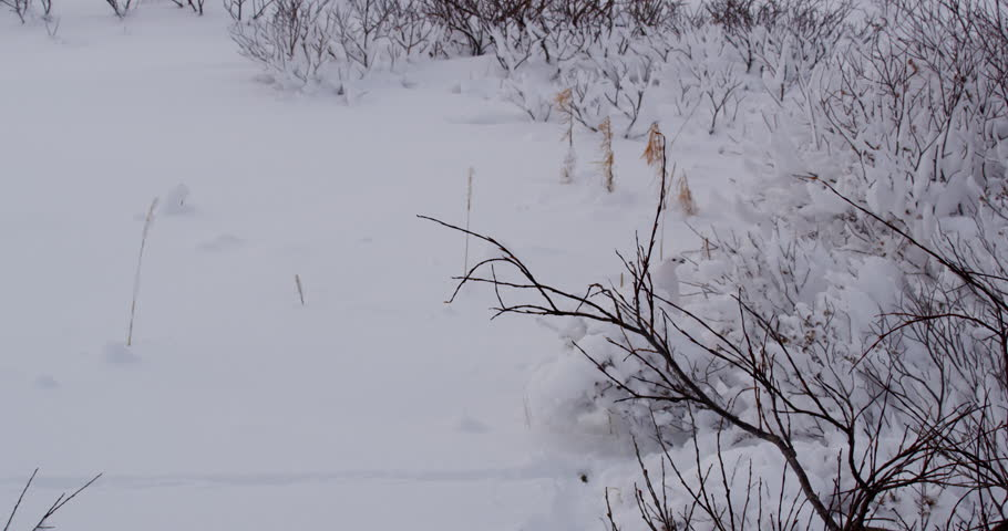 Two white ptarmigan feed on snowy willows in the arctic light