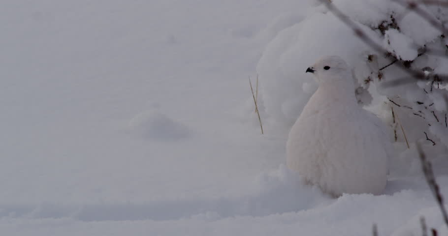 Close on white ptarmigan waiting still in snow below willow bush