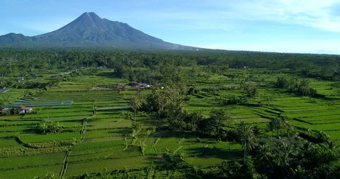 Merapi mountain and rice field by aerial view