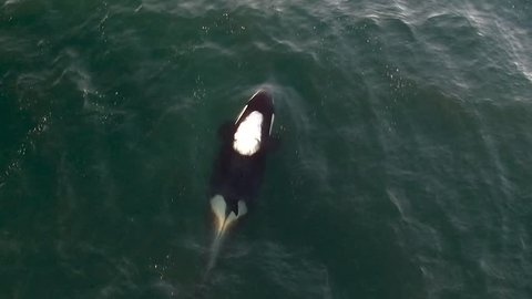 Aerial Drone Shot of Killer Whale Blow Hole Spray Vancouver Island