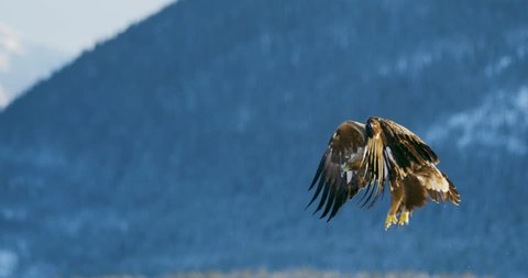 Golden eagle landing in the snow at mountain peak at the winter