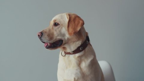 Portrait cute labrador dog beautiful look around happy face animal large retriever home funny adult sitting doggy pedigree friendly playing pet yellow domestic joy puppy golden cheerful love white