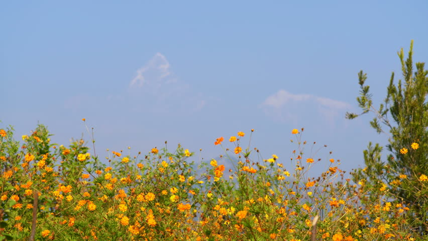 Yellow mountain flowers with Machapuchare mountain in the background, Nepal, Asia.