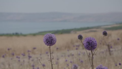 Purple Flower with Sea of Galilee in the background, June 7, 2017.