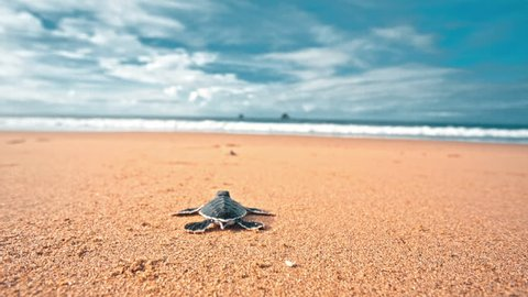 Turtle hatchling making first steps from the beach to the sea