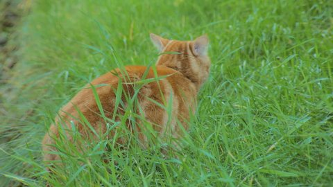 bright red cat is walking in yard and eating a grass, looking at camera, close-up