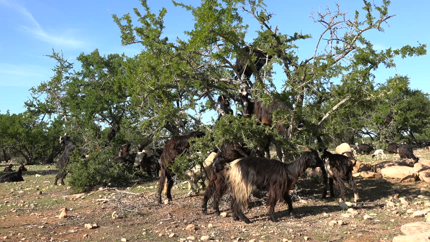Goats climb argan trees to eat nuts and leaves, part of the argan oil production process in rural Morocco