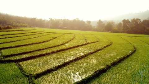 4k Video shot aerial view by drone. Rice Field on sunrise. Bird eye view on paddy