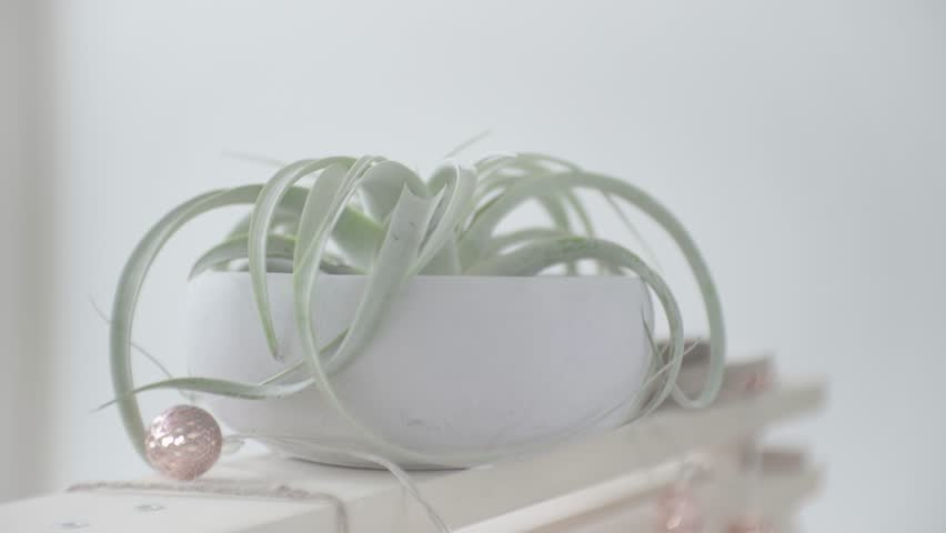 Air Plant in Concrete Vase put on Wooden Trestle with Shelf with Fairy Lights Panning Up and Down. In S-Log 2.  | Shutterstock HD Video #1008459745
