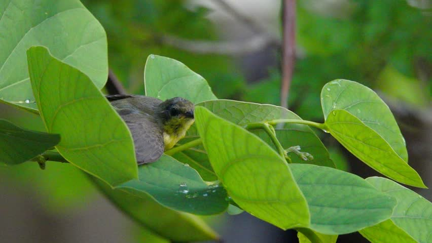 Cute tiny bird rolling over green leaves filled with water drop relief from hot temperature in summer time. Sunbird juvenile taking a bath in slow motion.