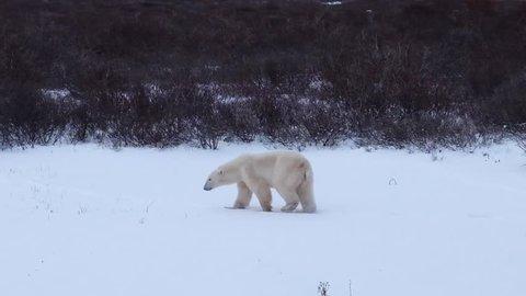 Polar bear in its habitat. Manitoba Canada