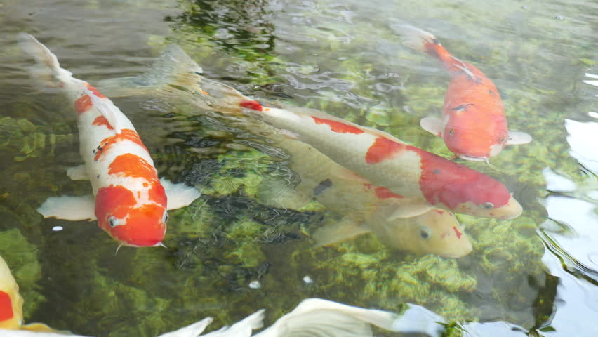 Colorful carp fish swimming in a pond