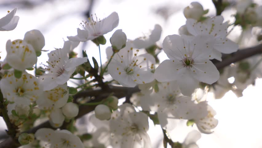 Close-up of a Cherry Plum tree. flowers and sun glare. 4k, slow motion | Shutterstock HD Video #1008636295