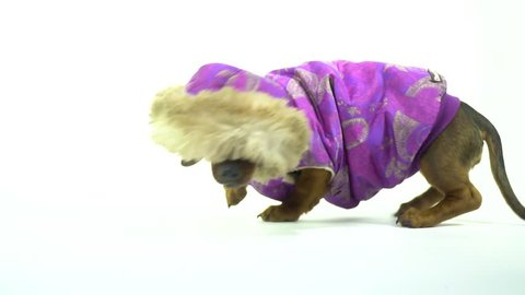 A small dachshund in a purple jacket with a hood took the trail