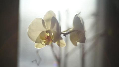 Morning beautiful white Orchid on the window in the house. Flowers and plants for the home.