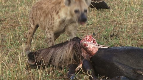 close up of a hyena pulling away a wildebeest carcass.
