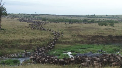 wildebeests crossing a small river in masai mara.