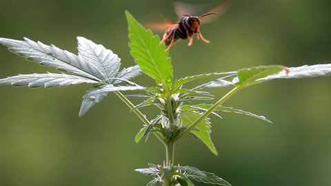 Big insect beautiful wings landing on  industrial hemp plant in countryside