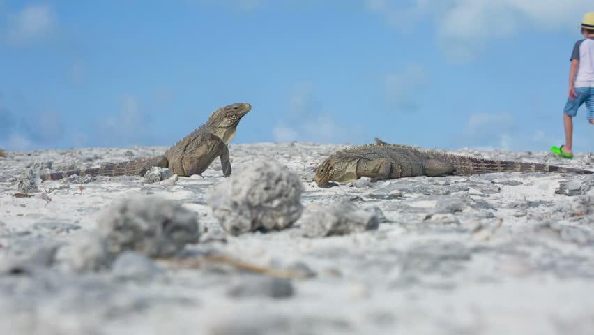 Little boy photographing iguana, Cayo largo, Cuba   Shutterstock HD Video #10087835