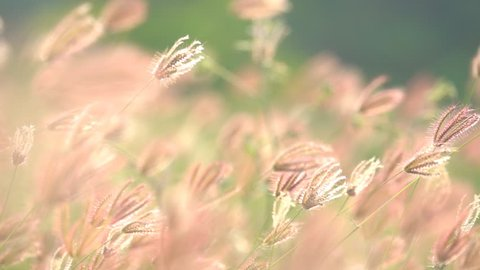 Slow motion wind blowing grass on grassland and beautiful sunset. It pasture landscape is beauty and refresh. It pink or purple floral flower in meadow field. Sunlight thought green leaf and flower