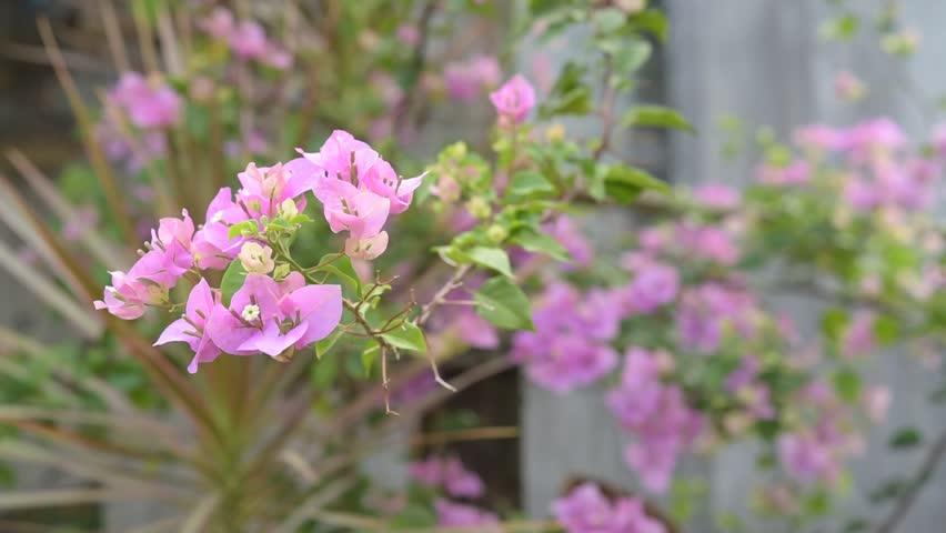 pink Bougainvillea flower on selective focus