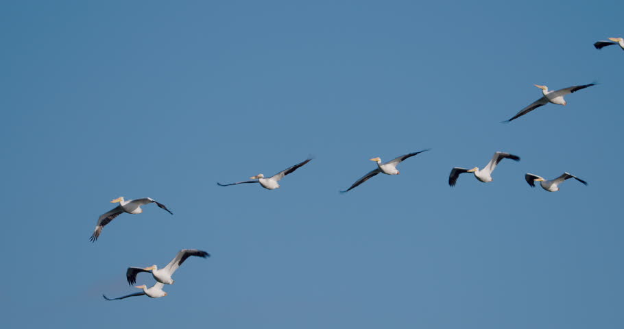Flock of white pelicans flying against solid, cloudless, blue sky in 4K slow-motion at 120 fps. | Shutterstock HD Video #1008851645