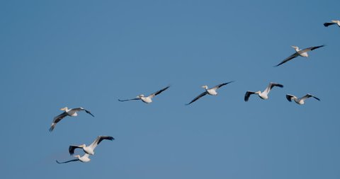 Flock of white pelicans flying against solid, cloudless, blue sky in 4K slow-motion at 120 fps.