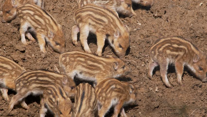 Wild boar piglets (Sus scrofa) fighting | Shutterstock HD Video #1008864995