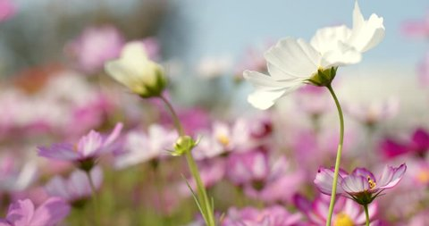 White And Pink Cosmo Flower Stock Video Footage 4k And Hd Video