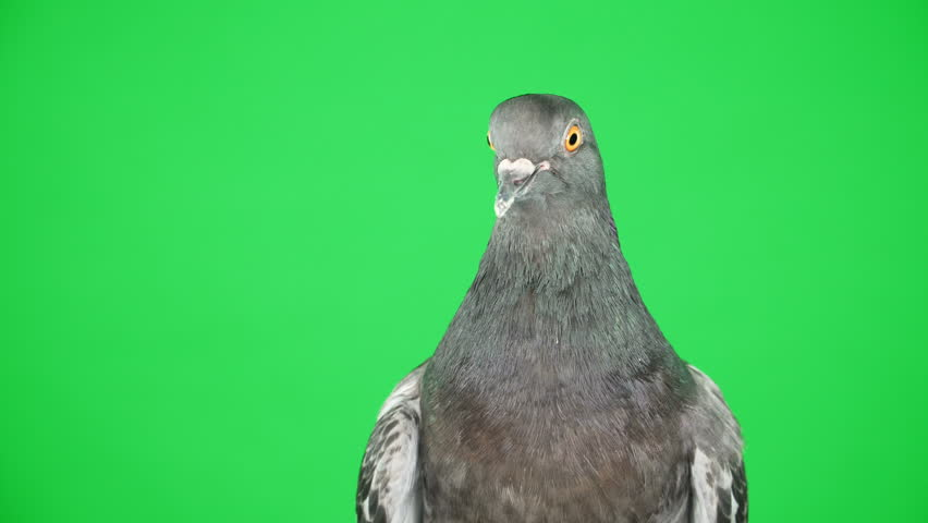 Close up. Dove on the green screen   Shutterstock HD Video #1008958475