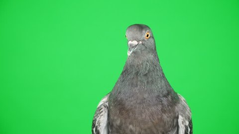Close up. Dove on the green screen