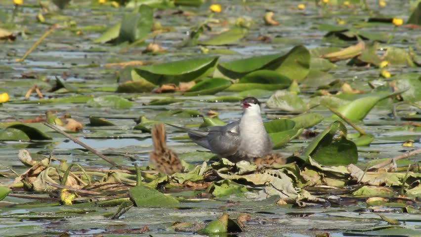 Whiskered tern. The whiskered tern (Chlidonias hybrida) is a tern in the family Laridae