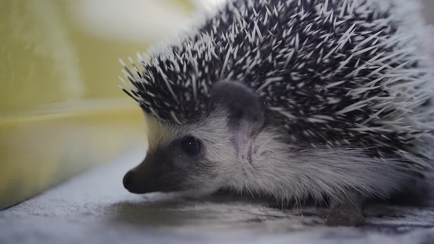 Cute Little Hedgehog Pet Sitting In Apartment Rises It Needles To Protect Itself Close Up Shot