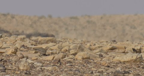 Houbara bustard in the hot Negev desert, Israel