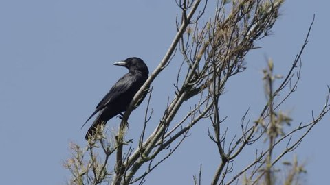 A carrion crow (or Corvus corone) stands on a branch with a blue sky behind.