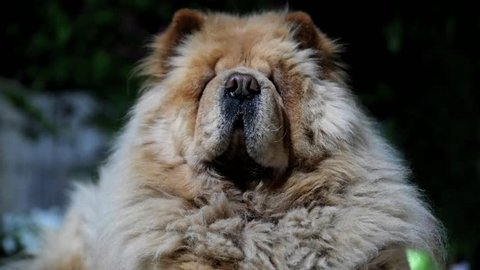 Lovely cute and sleepy Chow Chow dog relaxing on the grass of a garden during the night Front Close Up.