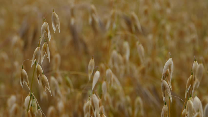 Oats ripning in the sun. Some stems still green, waving in the wind | Shutterstock HD Video #1009131185