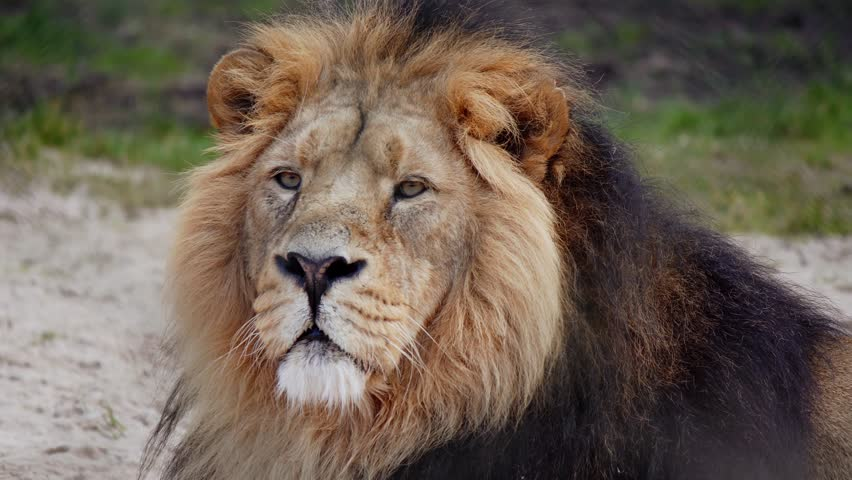 Portrait Of Handsome Asiatic Male Adult Lion Looking At Camera In 4K. #1009169735