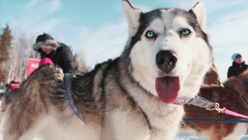 Portrait of a Siberian Husky dog outdoors. Footage. Close-up portrait of noble sled dog a Chukchi husky breed dog on winter background