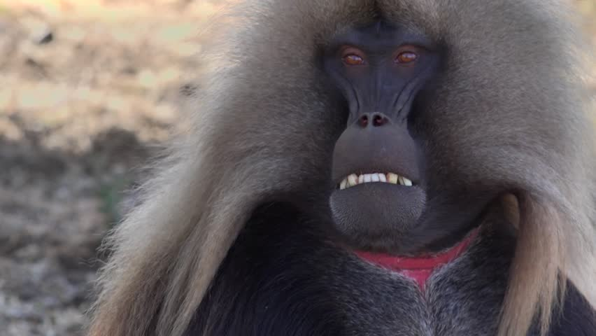 Gelada male,Theropithecus gelada, sometimes called the bleeding-heart monkey or the gelada baboon, is a species of Old World monkey found only in the Ethiopian Highlands, in the Semien Mountains