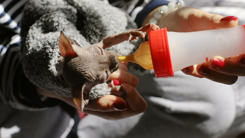 closeup view of female hands holding cute beautiful hungry little newborn canadian sphynx kitten playing with nipple of bottle for milk / veterinary medicine health care domestic animal playful cat