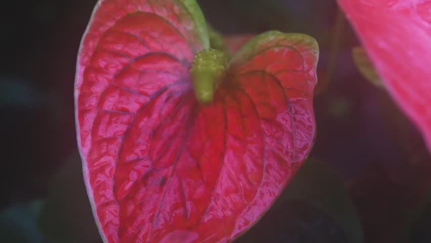 Anthurium Fire Red Tropical Flower