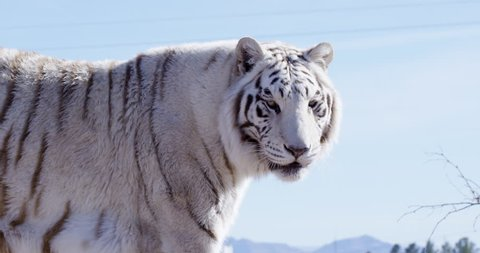 White Bengal tiger walks slowing while eyeing out camera - slow motion